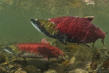 Babine River spawing salmon - D. Herasimtschuk - Freshwaters Ltd
