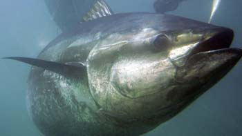 bluefin tuna - CBC