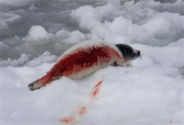Shot raggedy jacket harp seal pup