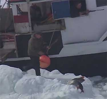 Canadian sealer retrieves wounded harp seal - HSI 2013