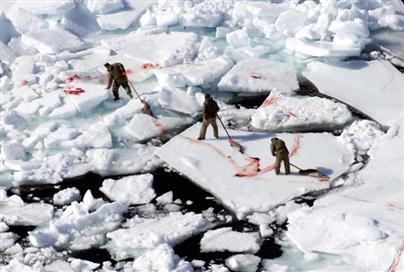 Killing harp seal pups