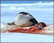 Mother seal with dead baby