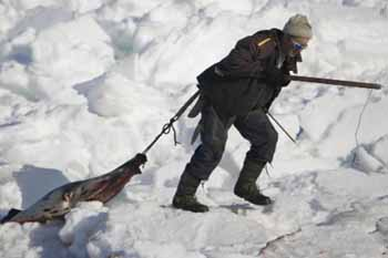 Sealer drags harp seal pup - photo -AFP