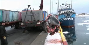 Sealer hoisting 90 seal pup carcasses - photo CBC 2012