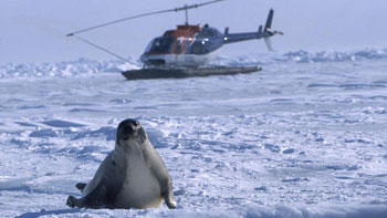 adult harp seal - IFAW 2003