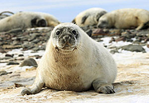 Grey seals - Paul Darrow - Reuters