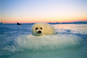 Harp seal pup on ice - photo Brian Skerry - National Geographic