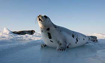 Harp seal on ice - photo by Joe Raedle - Getty