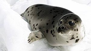 Harp seal pup - photo Reuters