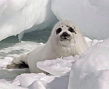 Harp seal pup - photo Andrew Vaughan - Canadian Press