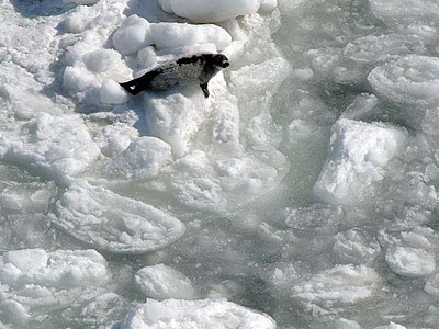 Harp Seal Looks Out on Thin Ice
