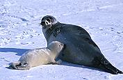 Mother Harp Seal and Baby