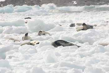 Seals gather on ice - Transcontinental Media image